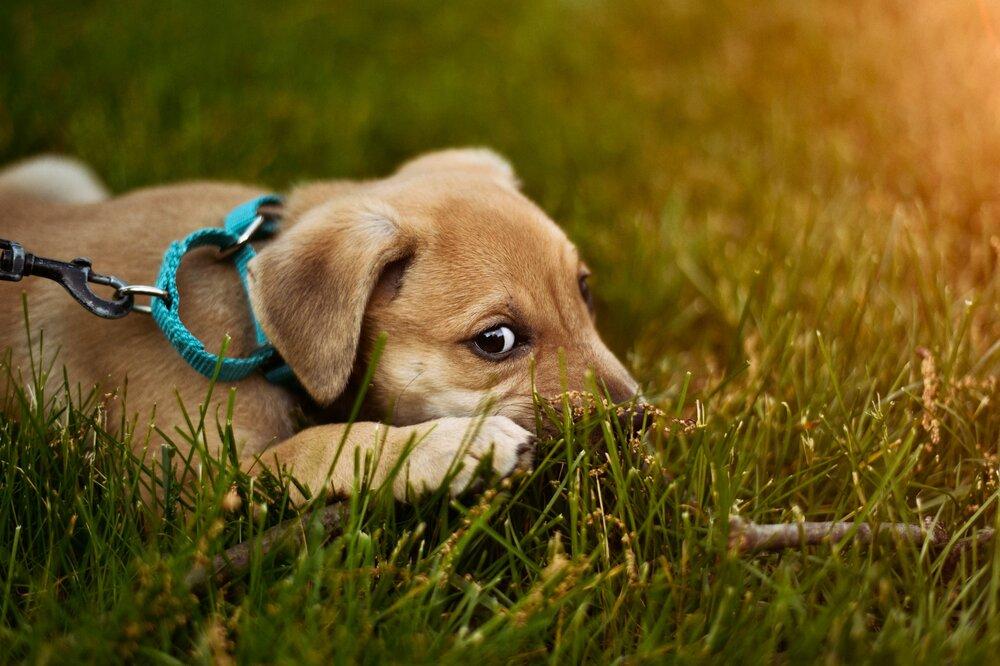 puppy chew training denver family pupz