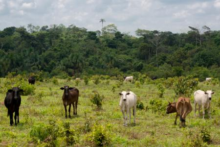 Beef cattle in the Brazilian Amazon