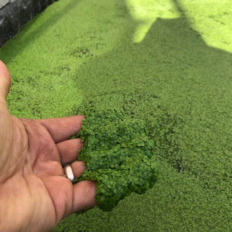 Water lentil (duckweed) grown hydroponically is a nutritious vegetable with as much protein as beef.