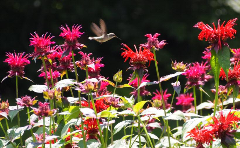 2015-07-hummingbird-on-bee-balm.jpg