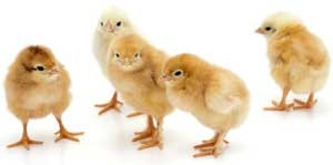 Order baby chicks now
