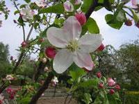 apple-blossom
