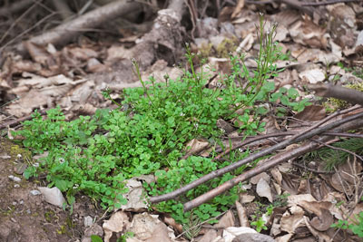 Pull hairy bittercress now for fewer weeds next spring!