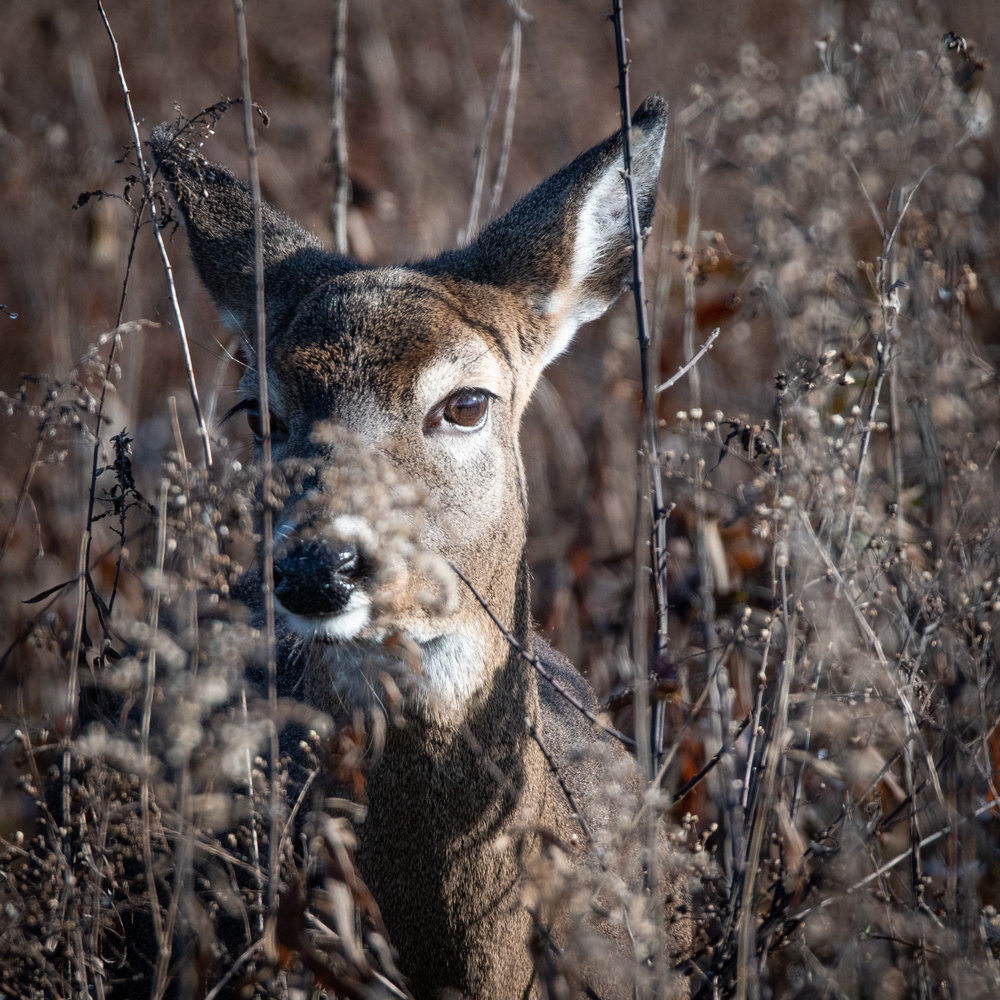 """I see you"" A cautious deer keeps an eye on me. (First Place in the Wildlife Competition)"