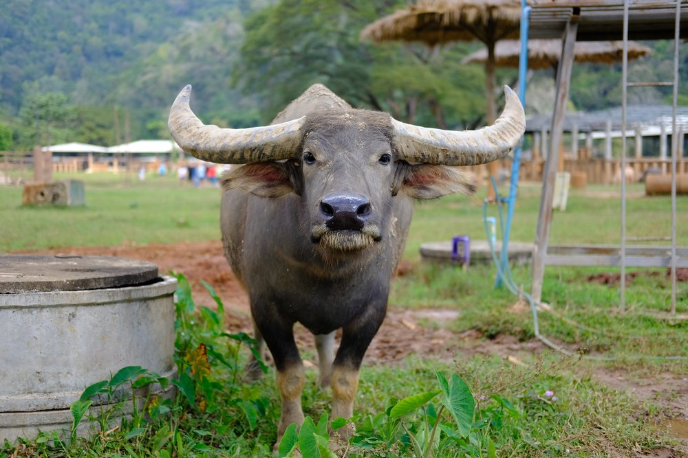 1 - water buffalo who gave us the stink eye