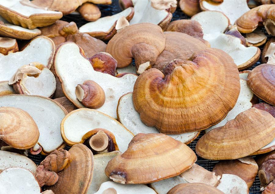 reishi-mushroom (2).jpg