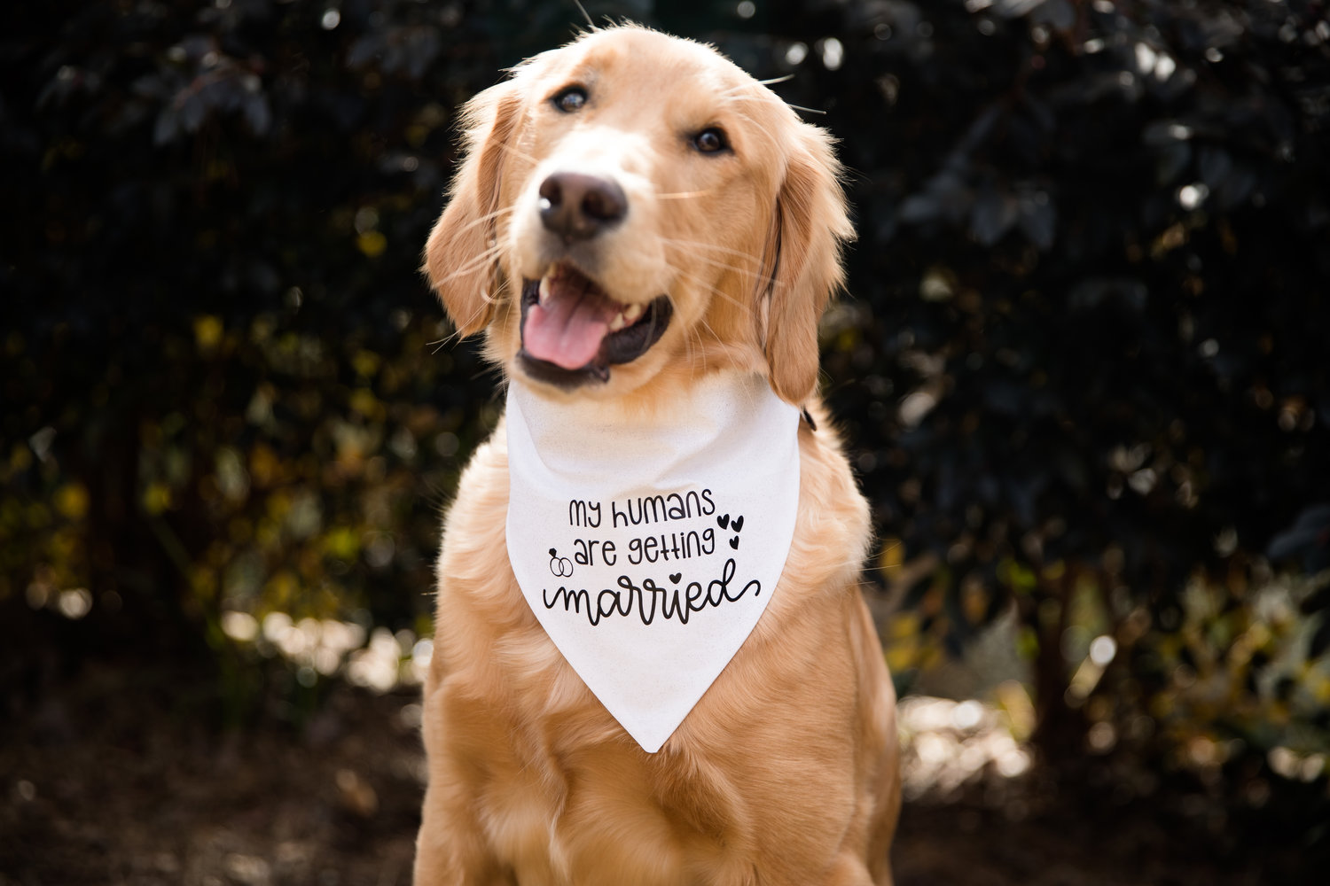 PERSONALISED MY PARENTS ARE GETTING ME A HUMAN  DOG BANDANNA  LARGE