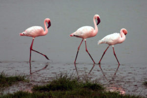 Flamingos in India. Source: Wikimedia Commons.