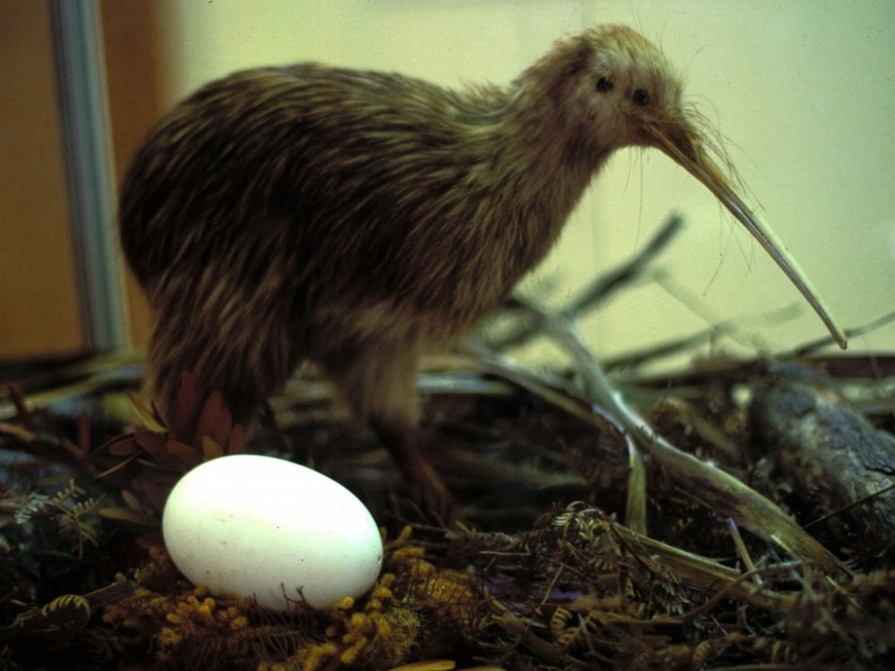 According to the National Audubon Society, Kiwi eggs can weigh up to a quarter of the bird's body mass, making it the largest of any bird in the world in proportion to its body size.