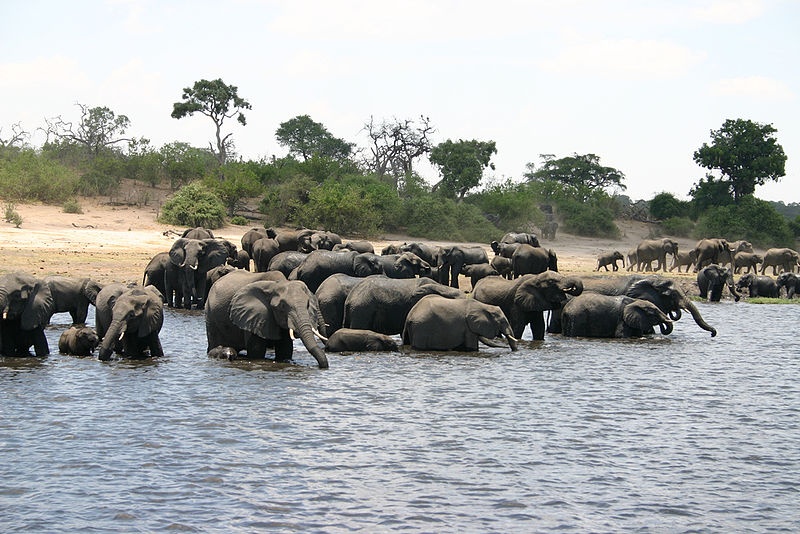 A herd of elephants swims in Botswana. ( Wikimedia Commons)