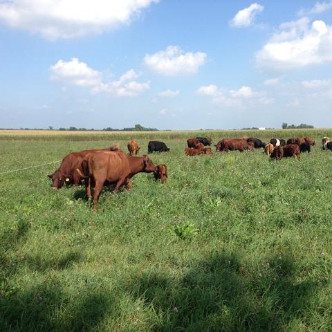 grazingcows.jpeg
