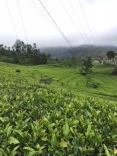 Tea garden- Indonesians like Java tea very much.