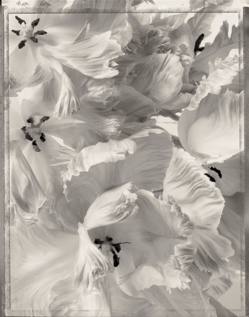 dancing_tulips_print11.jpg