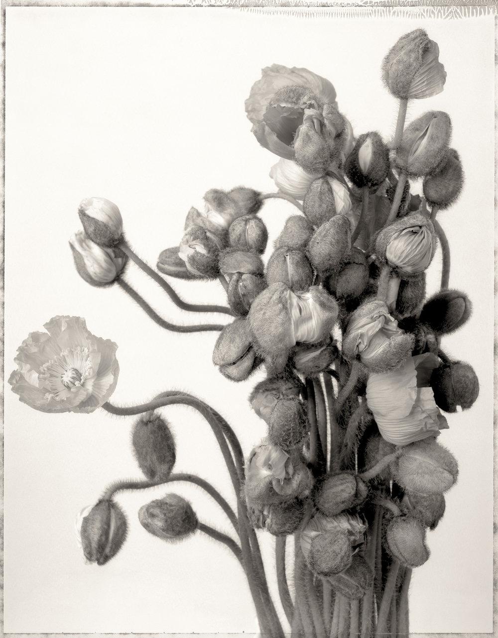 white_poppies_print21.jpg