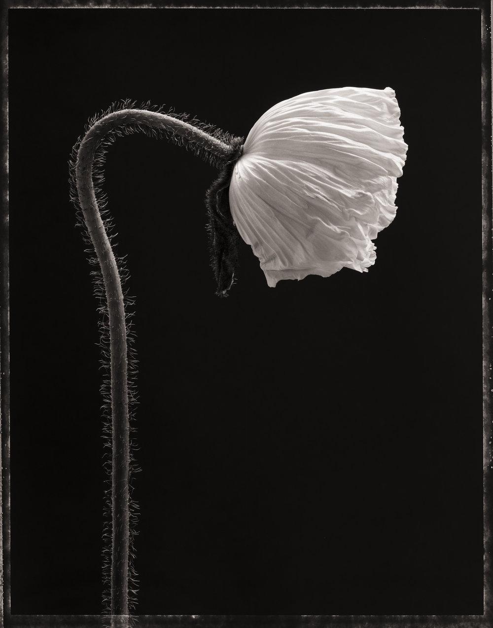 poppy172.jpg