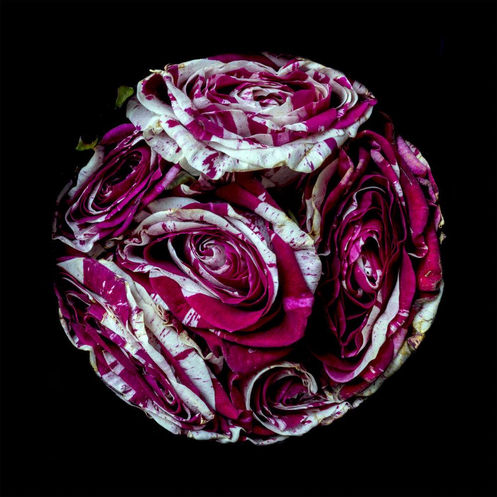 roses_02594_v236.jpg