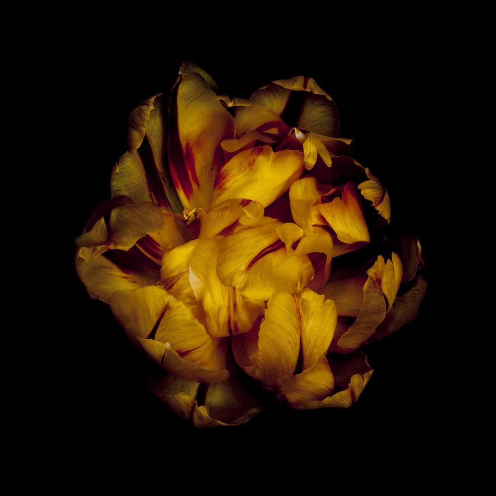 golden-tulip4.jpg