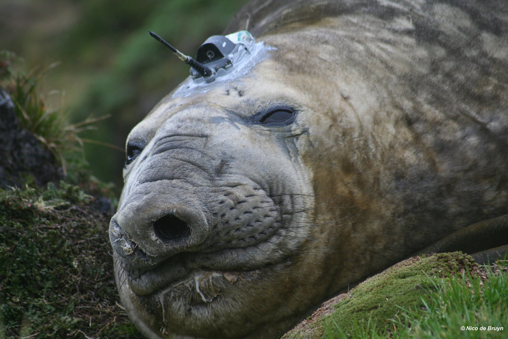 Seals are tracked by sophisticated electronic tracking devices that transmit location and other data to scientists via satellite. This Southern elephant seal bull will 'tell' us where he is, when we cannot see him out in the vast Southern Ocean. Photo: Nico de Bruyn
