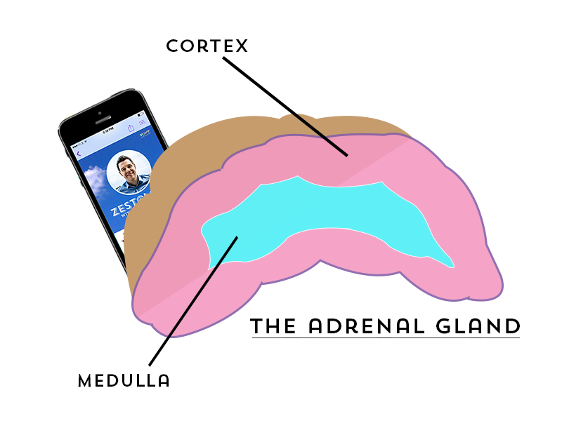 TheAdrenalgland
