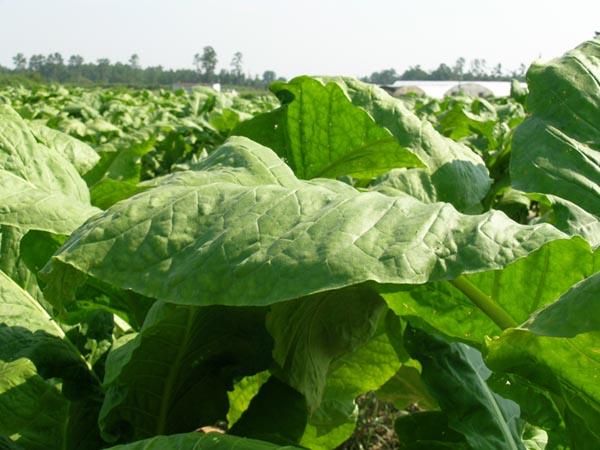 Tobacco growing field