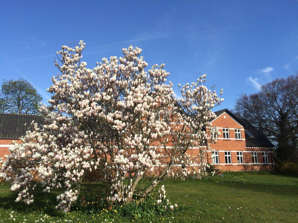 forår - magnolie (19).JPG
