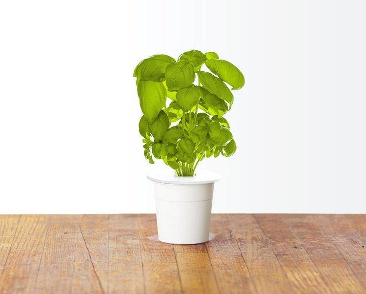 edible plants basil