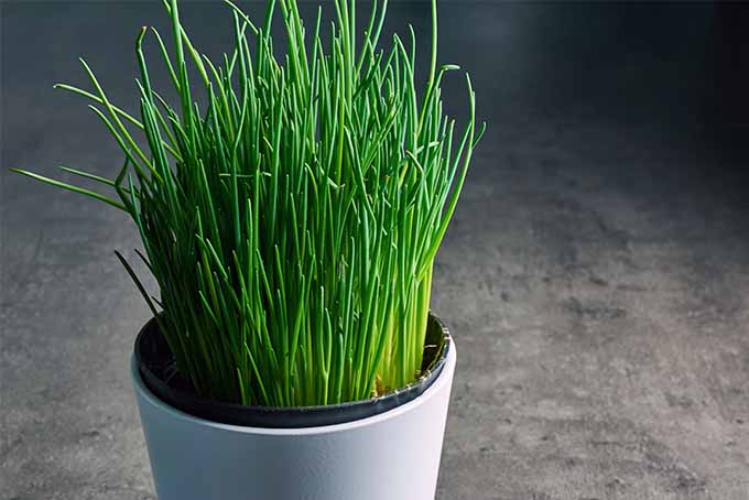 Plants to eat and grow this summer: Chives
