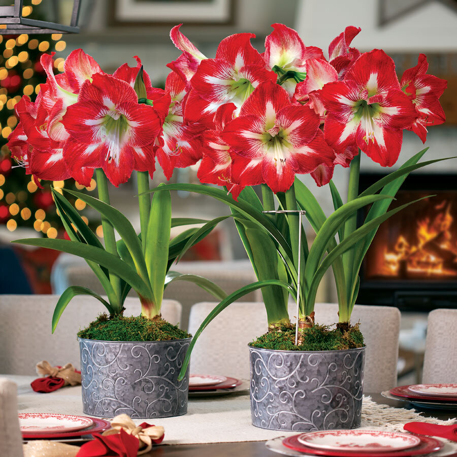 Amaryllis Plant Care And Information