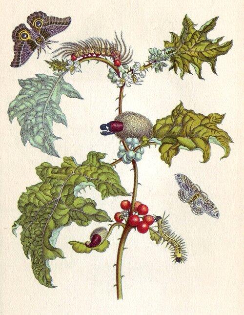 Illuminated Copper-engraving from  Metamorphosis insectorum Surinamensium