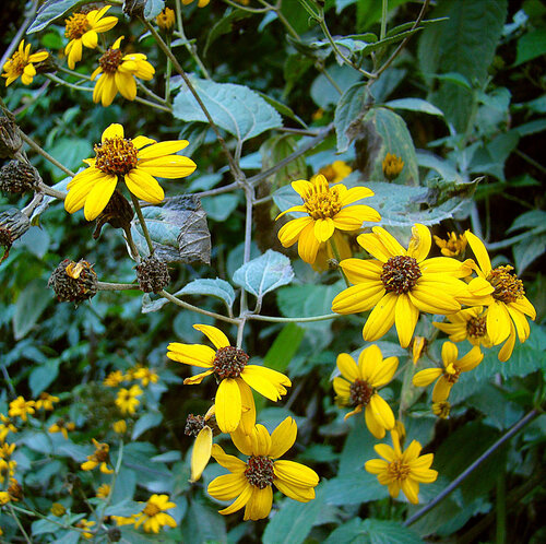 Dick Culbert  from Gibsons, B.C., Canada -  Lasianthaea fruticosa