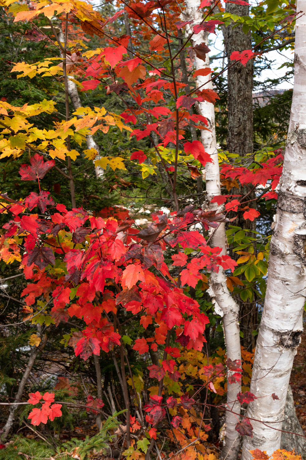Landscape photo of a forest along the Kancamagus Highway in North Conway, New Hampshire in fall by Vision Balm in Charleston, SC.