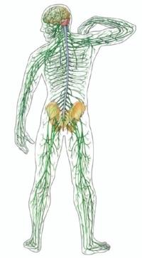 nervous-system22.jpg