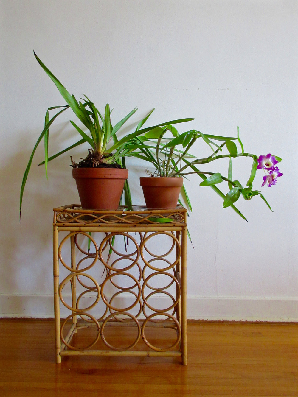 The two shelf mate orchids, 2019