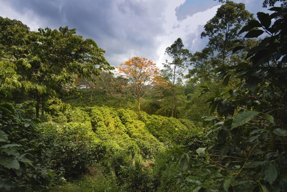 Coffee Plantation -
