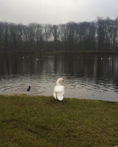 Swan-photo-240x300.jpg