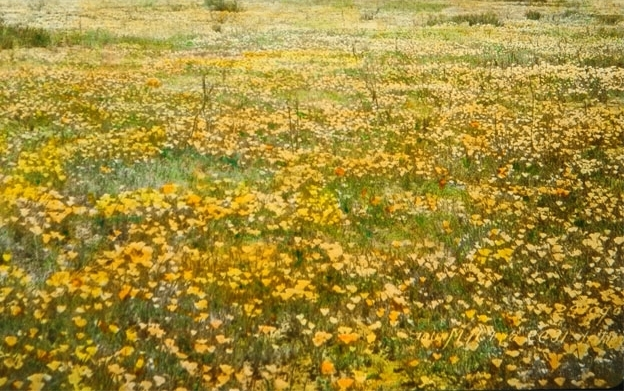 Poppy field circa 1900 in present day Altadena, CA. Source: Braun Research Library Collection, Autry National Center. Object ID LS.12459.
