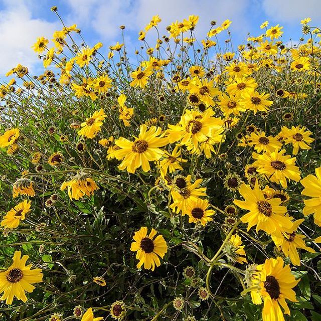 Encelia Californica or California Bush Sunflower is an excellent choice for #erosion control as well as for safely removing toxins and heavy metals from the #soil. It's an easy starter plant for those interested in beginning a #nativegarden #perennial #losangeles #plantmedicine #ethnobotany  #knowyourcity #flowerpower #lawild #wildflowers