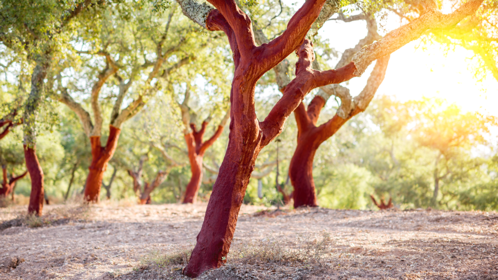 Plantation of cork oak trees
