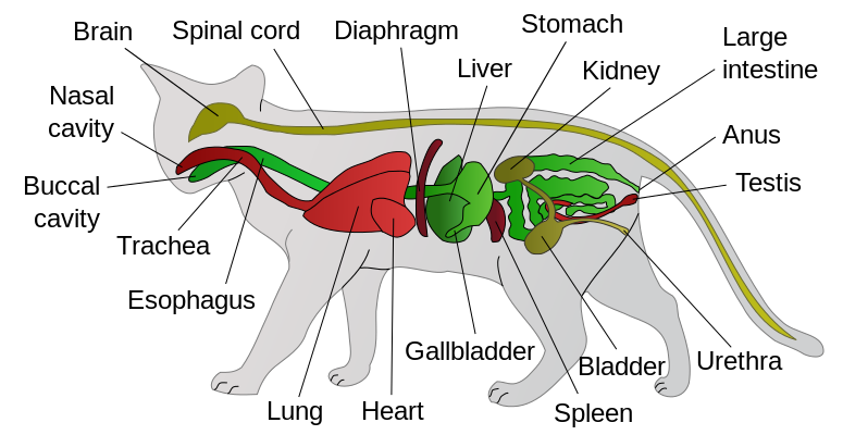 Cats-anatomy.png