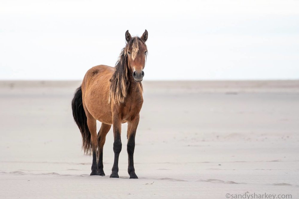 Sable Island welcoming committee
