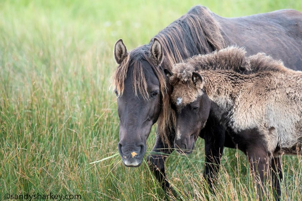 Sable mare and foal