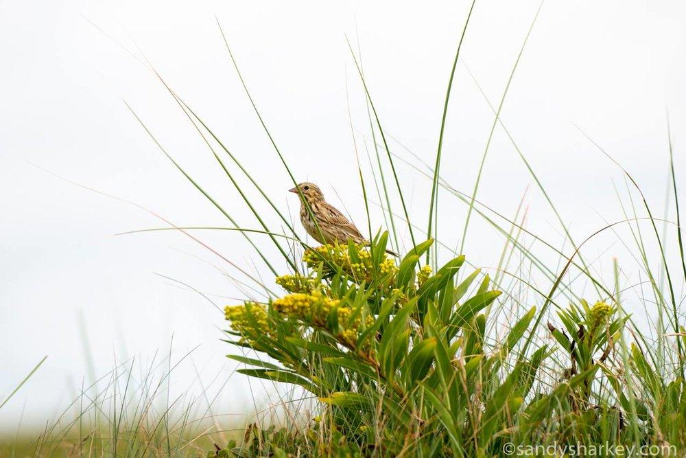 Ipswich Sparrow ~ Sable Island