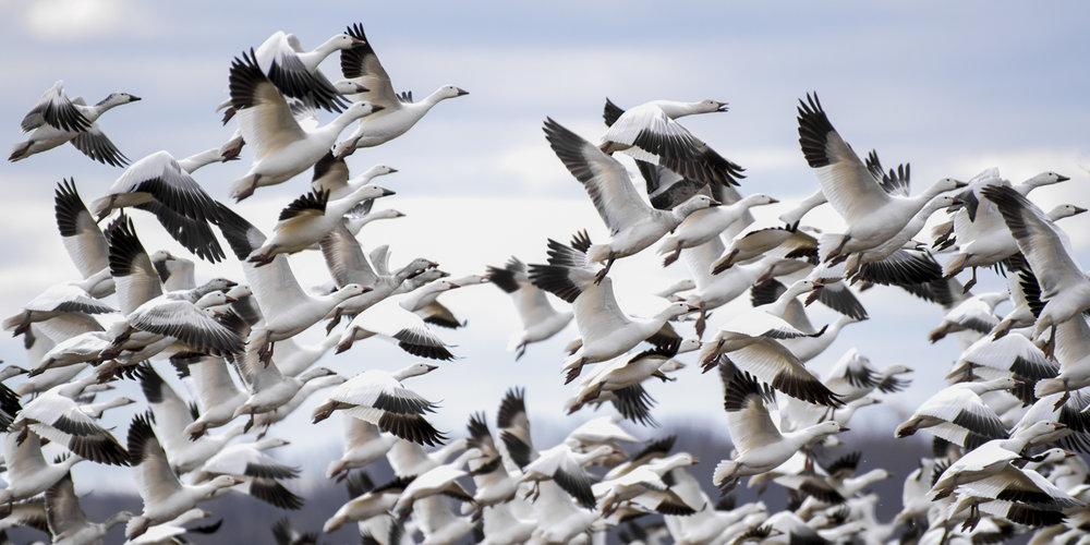 snow geese blog 3.jpg