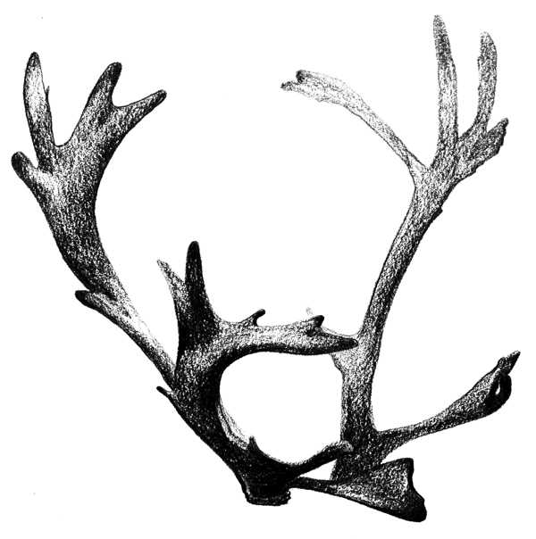 Antler Study , 2018. Graphite on paper.