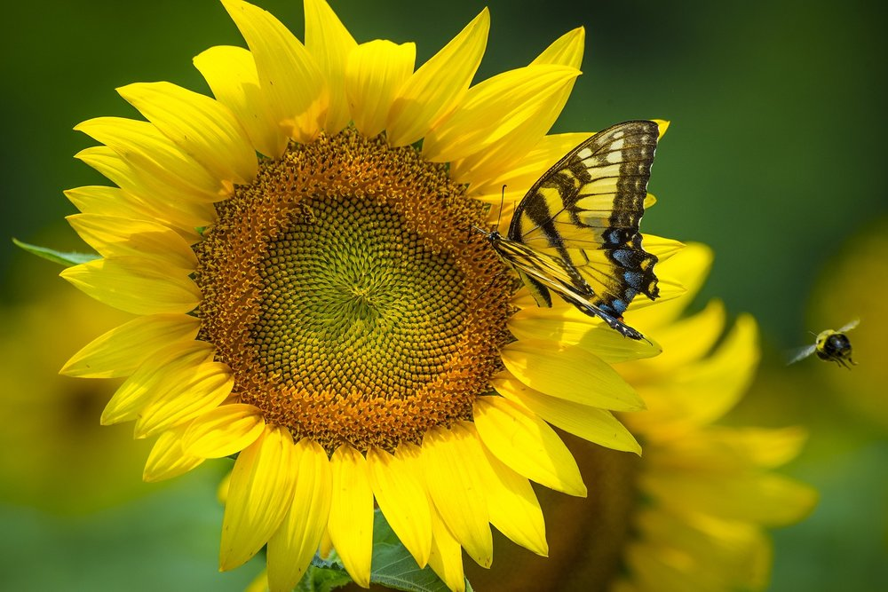 sunflower-3705039_1920.jpg