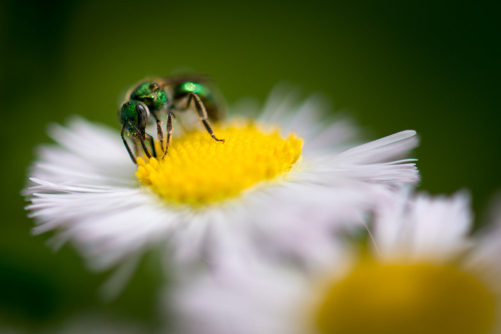 Color Photograph, Insect, Flower, Bee, Midwest, Interior Design, Wall Art
