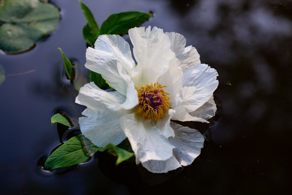 Flower, Peony, Tree Peony, Midwest, Color Photograph, Healing Art, Hospital Art, Interior Design, Wall Art