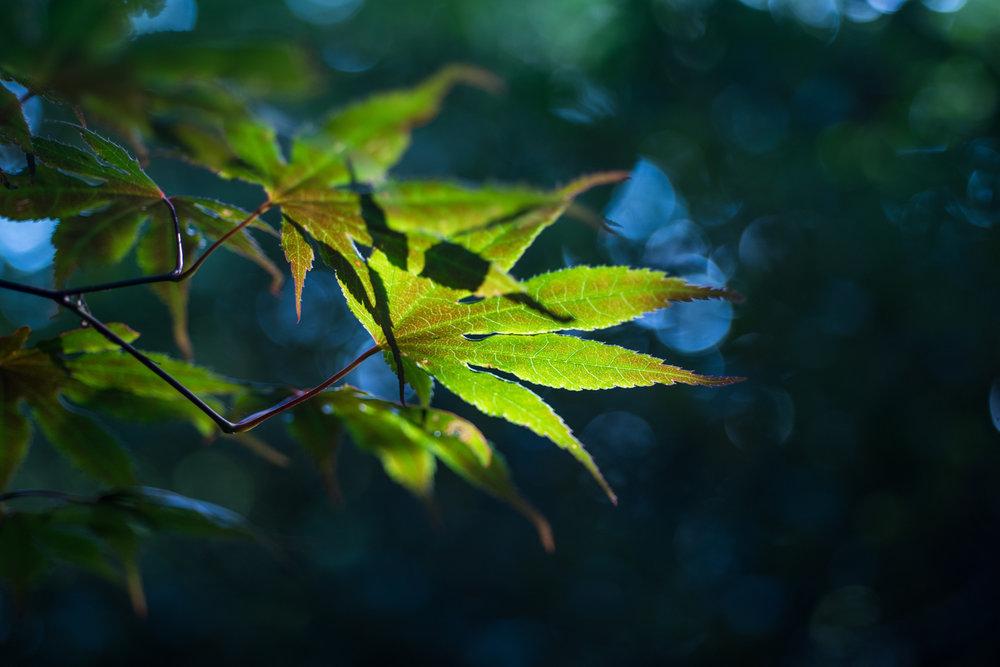Japanese Maple, Midwest, Color Photograph, Healing Art, Hospital Art, Interior Design, Wall Art