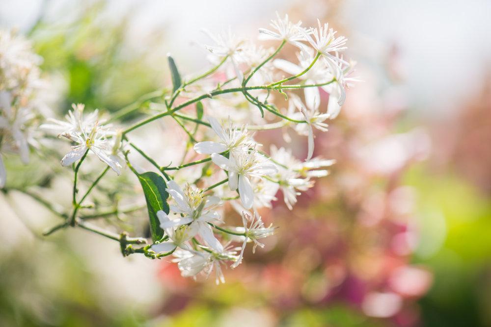 Flower, Fall Blooming Clematis, Midwest, Color Photograph, Healing Art, Hospital Art, Interior Design, Wall Art