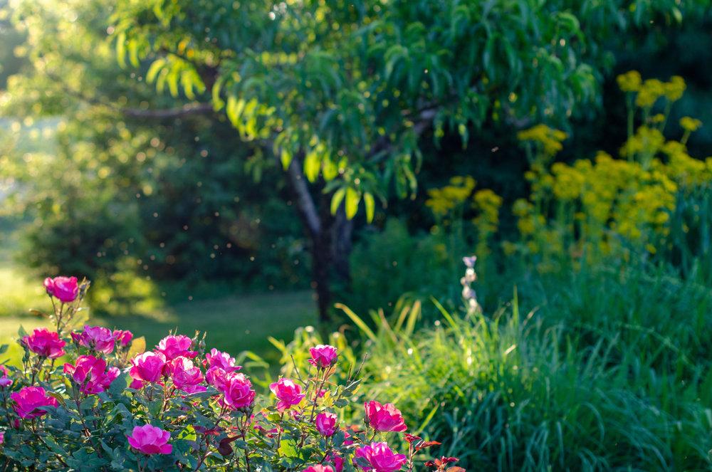 Roses, Landscape, Midwest, Color Photograph, Healing Art, Hospital Art, Interior Design, Wall Art
